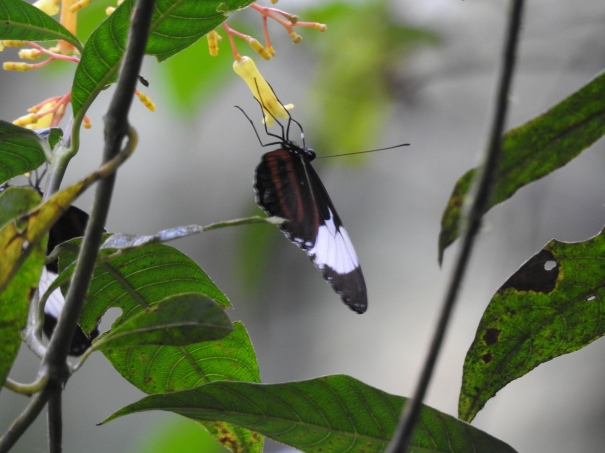 Aquiares Butterfly (16)
