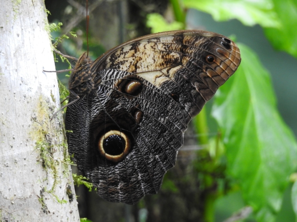 Aquiares Butterfly (2)