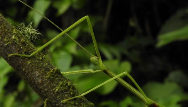 Aquiares Stick Insect (41)