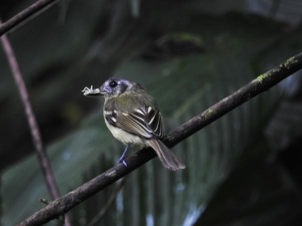 Flycatcher, Slaty-capped, Aquiares