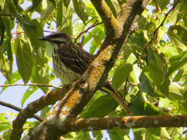 Flycatcher, Suphur-bellied, Aquiares