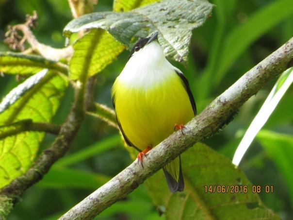 Manakin, White-collarded, male Rio Tuis (1)