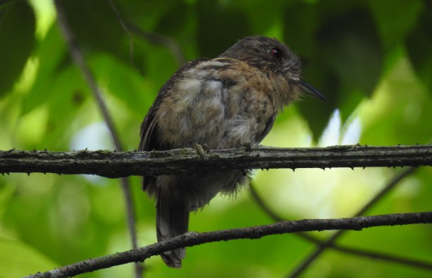 Puffbird, White-whiskered, female, Paso Marcos (1)