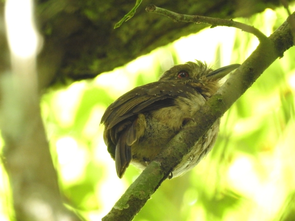 Puffbird, White-whiskered, male, Paso Marcos (2)