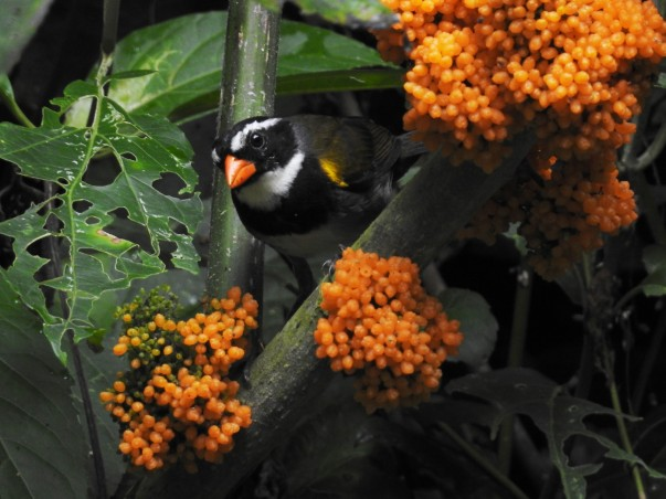Sparrow, Orange-billed, Paso Marcos (1)
