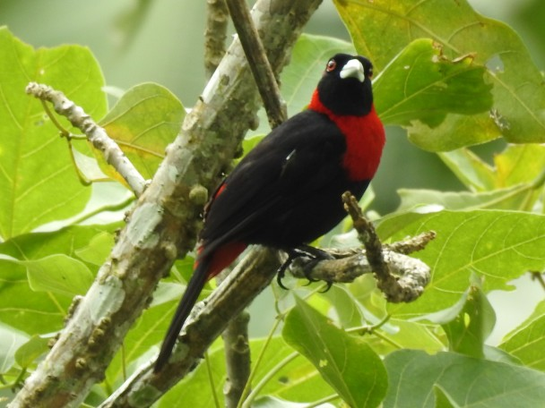 Tanager, Crimson-collared, Paso Marcos