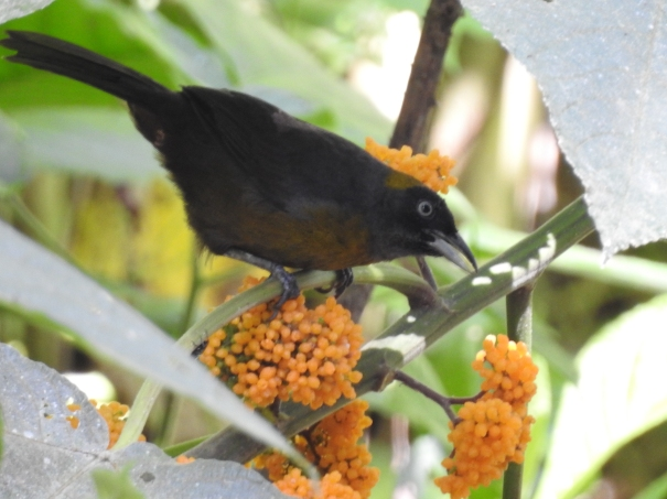 Tanager, Dusky-faced, Paso Marcos (1)