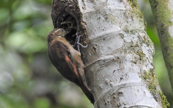 Woodcreeper, Xenox, Plain feeding young Aquiares