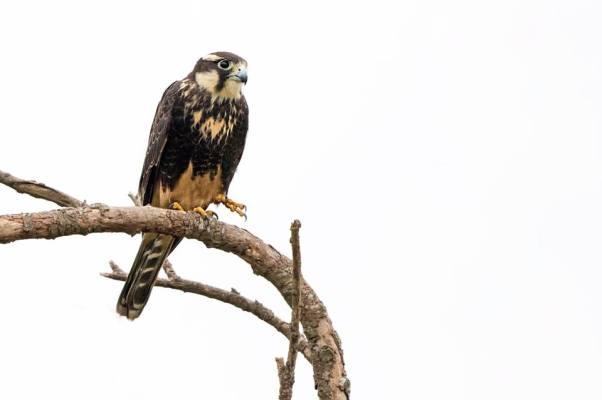 Aplomado Falcon Arnoldo Garcia