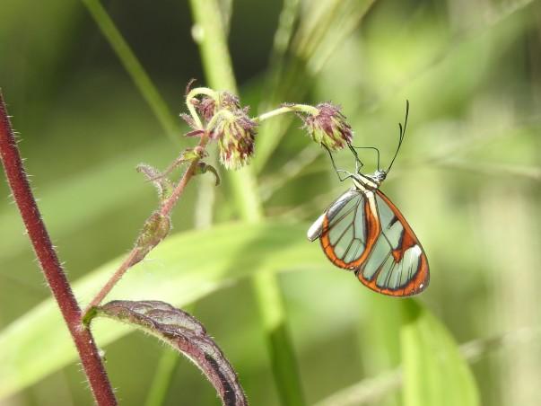 Butterfly, Cristina de la Suiza (1)