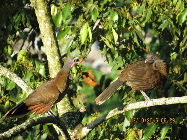 Chachalaca, Gray-headed, Santa Rosa, garden