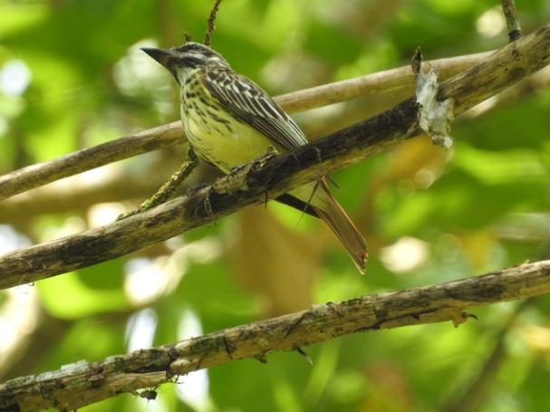 Flycatcher, Sulphur-bellied, Rio Armado, La Suiza