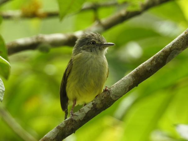 Flycatcher, Yellow-olive, El Banco (2)