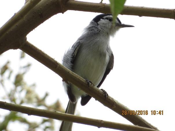 Gnatcatcher, Tropical male CATIE (6)