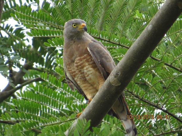 Hawk, Roadside (CATIE)
