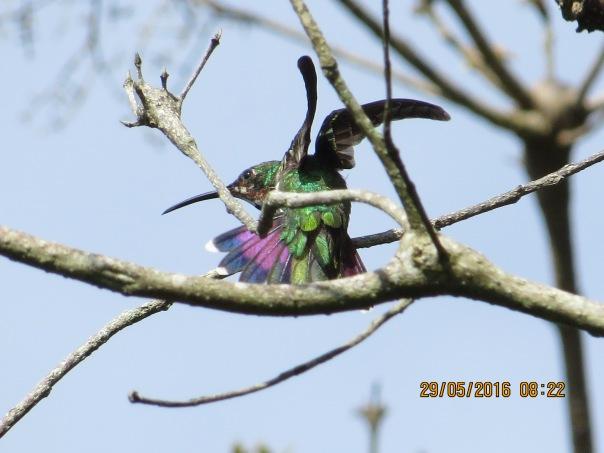 Hummingbird, Mango, Green-breasted, juvenile, Santa Rosa, Garden (1)