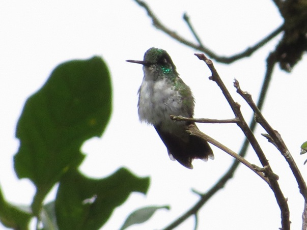 Hummingbird, Mountain-gem, White-bellied, female, Colonias La Suiza (1)