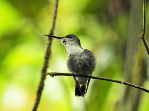 Hummingbird, Woodnymph, Crowned, female, Esperanza, Rio Nubes (2)