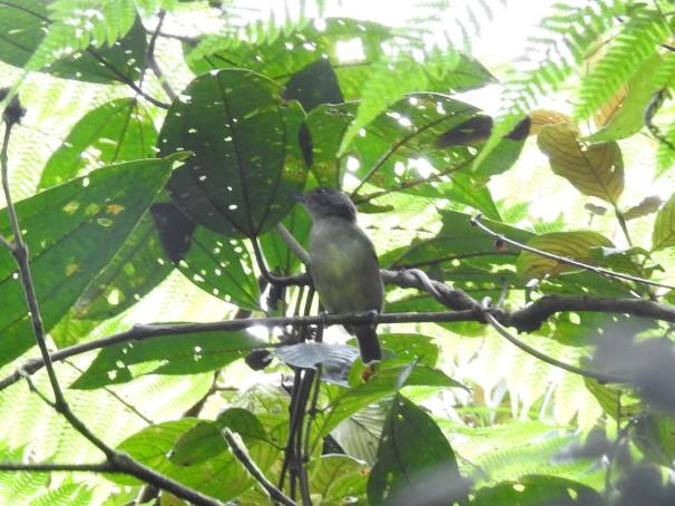 Manakin, White-ruffed female Esperanza, Rio Nubes (134-0) (3)