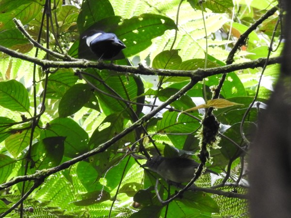 Manakin, White-ruffed male Esperanza, Rio Nubes (133-0) (3)