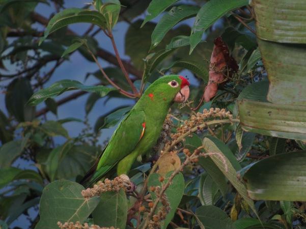 Parakeet, Crimson-fronted, San Vito