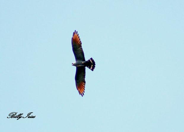 Plumbeous Kite Billy Irias Rosales
