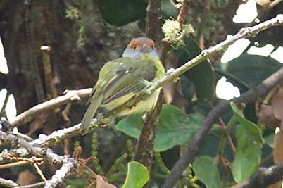 rufous-browed_peppershrike_2_B