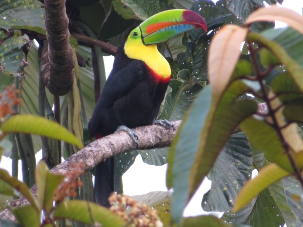 Toucan, Keel-billed, Taus