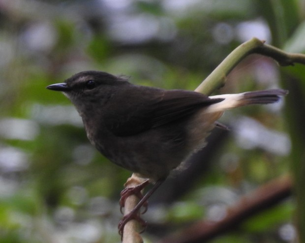 Warbler, Buff-rumped, Esperanza, Rio Oro (4)
