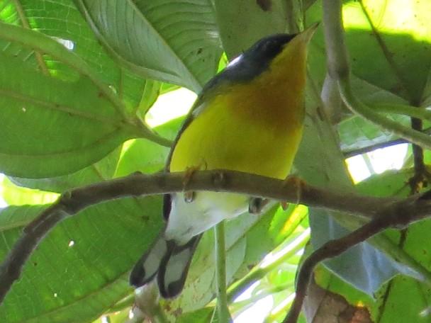 Warbler, Parula, Tropical, Aquiares (2)