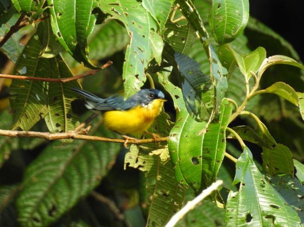 Warbler, Parula, Tropical, Cristina de la Suiza