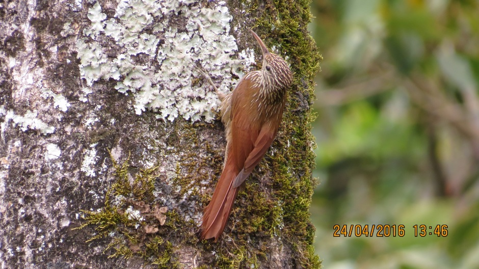 Woodcreeper, Streak-headed Santa Rosa, garden (5)