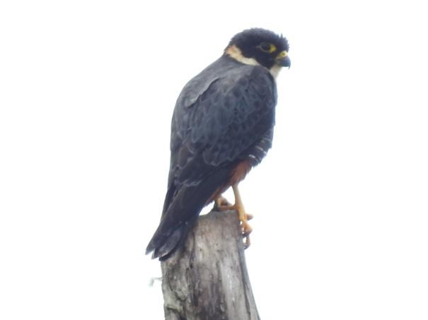 Falcon, Bat, La Muralla (6)