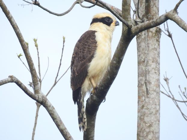 Falcon, Laughing, Corozal, Rio Pacuare (1)