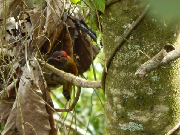 Golden-olive woodpeckerChalo