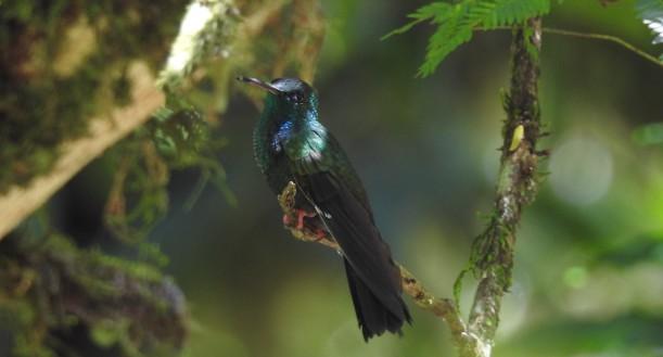 Hummingbird, Plumeleteer, Bronze-tailed, male, Corozal, Rio Pacaure (1)