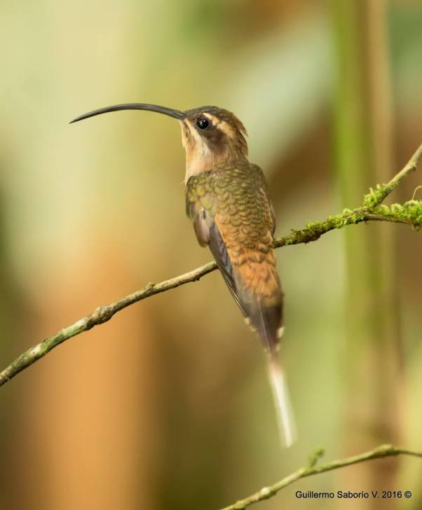 Long-billed Hermit Guillermo Saborío