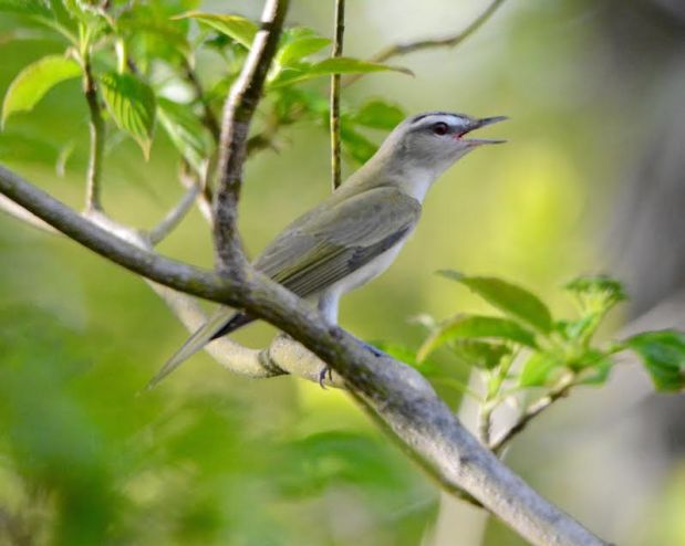 Red-eyed Vireo Minnesota