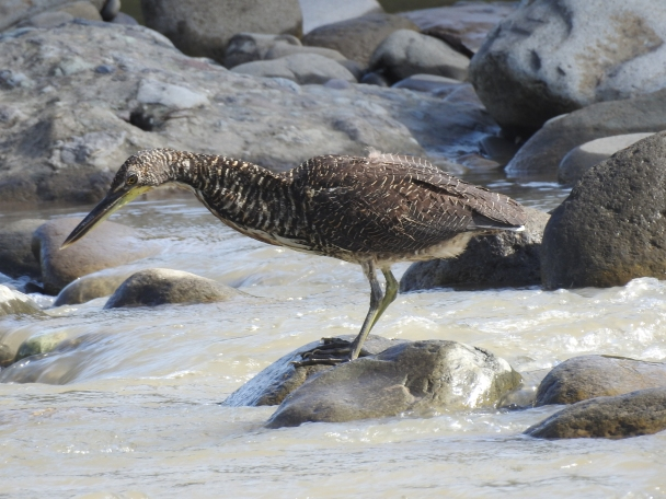 Tiger-Heron, Fasciated, Corozal, Rio Pacuare (3)