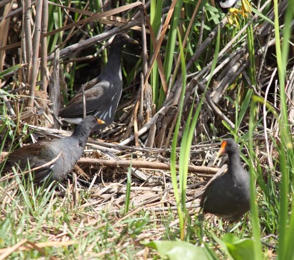 132 Common Moorhen Florida (1)