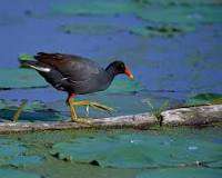 Common Moorhen Wikipedia