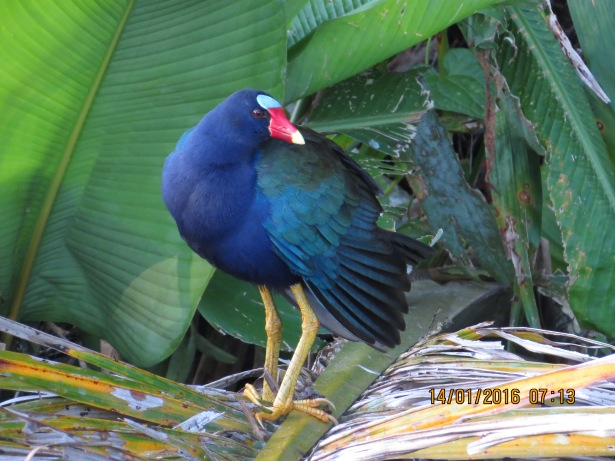 Gallinule, Purple (adult; CATIE) (19)
