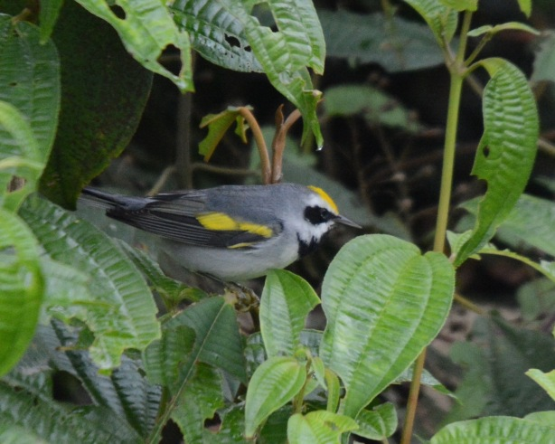 Golden-winged Warbler male Calle Vargas