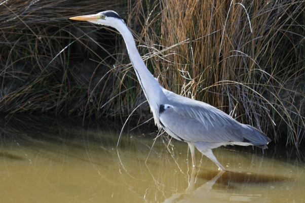 Grey heron Camargue 1-5-12 (6)