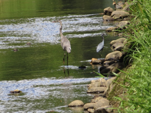 Heron, Great Blue CATIE canal
