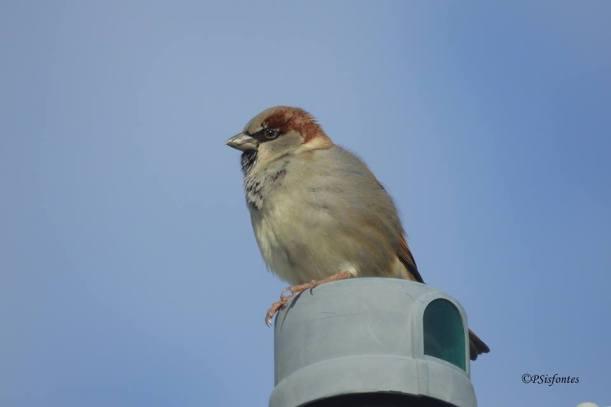 House Sparrow Mercedes Norte Pablo Sisfontes
