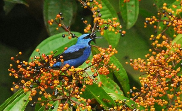 Shining Honeycreeper male Las Brisas Steven