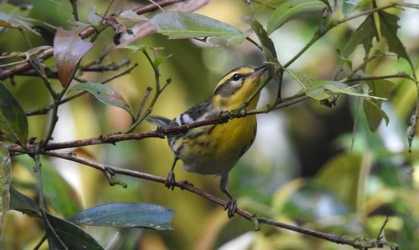 Warbler, Blackburnian, CATIE, Canal (2)