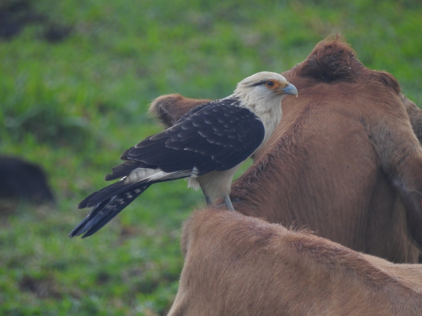 Caracara, Yellow-headed, Peralta (1)