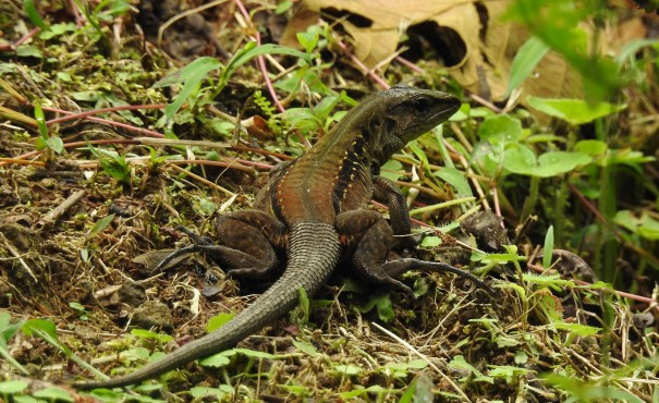 Central American whip-tailed lizard, Reserva Las Brisas (2)